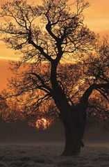 Oak Tree at Dawn